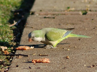 A wild monk parakeet in Edgewater New Jersey enjoys a slice of pizza in Parrot Park