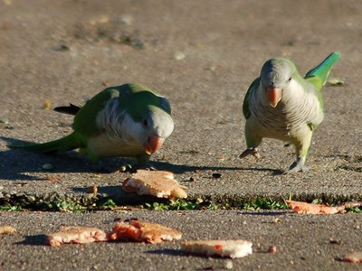 Two wild quaker parakeets in Edgewater New Jersey approach pizza distributed for them