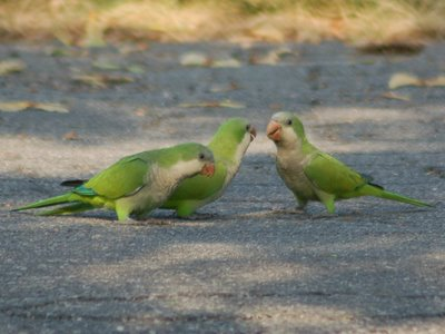 A family of quaker parakeets strolls in Brooklyn