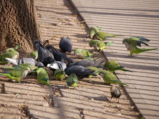 Pigeons, starlings, sparrows, and parrots feeding in Brooklyn