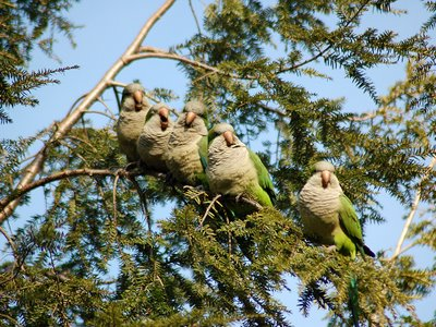 Five Quaker Parrots Laugh in a Brooklyn Tree - Photo By Steve Baldwin