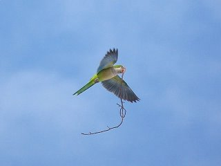 Quaker parrot in flight
