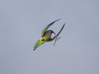 Quaker parakeet in flight with twig in beak