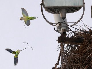 Two quaker parakeets bring twigs to their nests