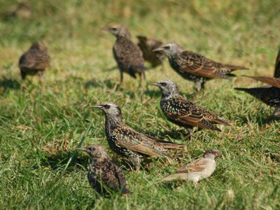 A group of starlings in Brooklyn's Green-Wood Cemetery