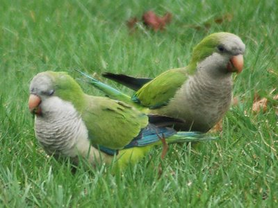 While the nest removals represent a hardship for Green-Wood's wild parrots, extraordinary great care was taken to minimize the disruptions for the wildlife. Hopefully, within a month or so, life will return to normal at Green-Wood's historic main gate, where the parrots have roosted for many years.