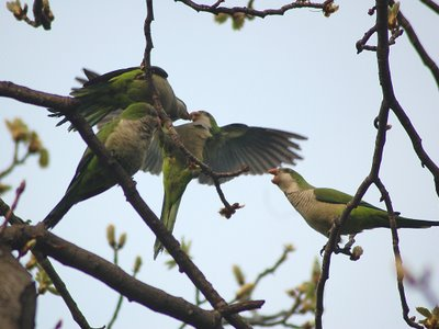 The parrots' rambunctious behavior occasionally interrupts their feeding.