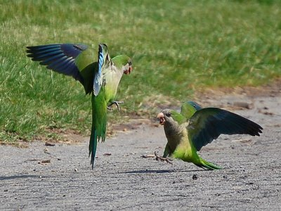 Two parrots in Greenwood Cemetery have a spirited argument on a concrete path
