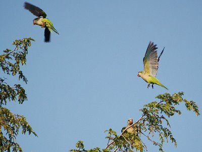 Two parrots hover over a pine tree at Greenwood Cemetery