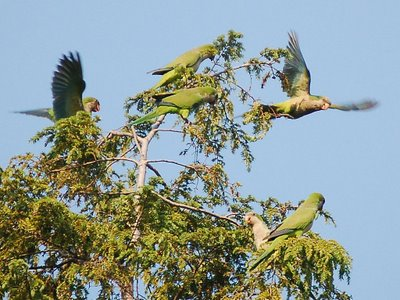 Five monk parrots colonize a tall pine tree at Brooklyn's  Greenwood Cemetery