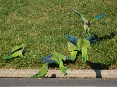 A group of wild Quaker Parrots at Brooklyn's Green-wood Cemetery celebrate the victory of the mockingbird over the crow.