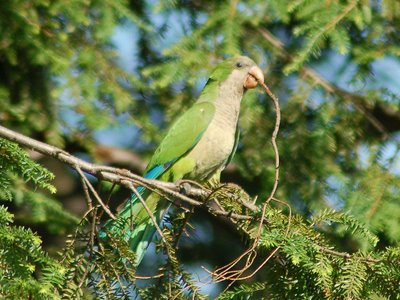 A wild Quaker Parrot in Brooklyn's Green-Wood Cemetery works to liberate a thorny twig from a pine tree.