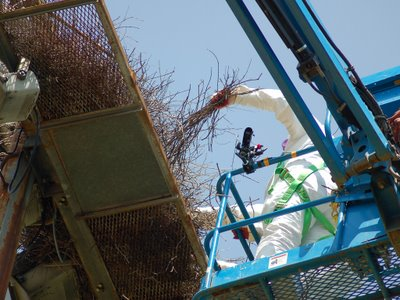 Workers carefully dismantle a wild Quaker Parrot Nest in the Bronx, June 7, 2007