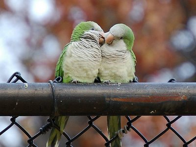 I love you! said one Monk Parrot to the other