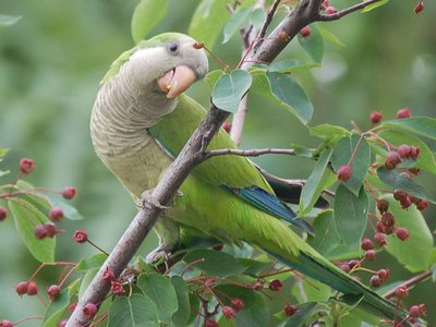 A wild monk parakeet munches on berries in the Bronx