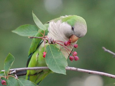 A wild quaker parakeet munches on berries in the Bronx