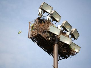 The parrots live in 75-foot tall stadium light towers