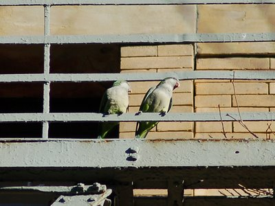 A pair of Quaker Parrots perches on a fire escape on 103rd Street