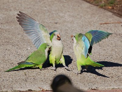A male monk parrot defends his mate against the entreaties of an unwanted suitor in New Jersey