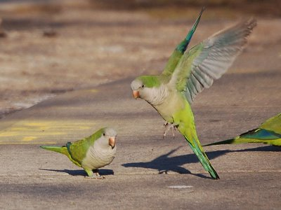 Two parrots decide to call off their aggressive displays until the photographer leaves