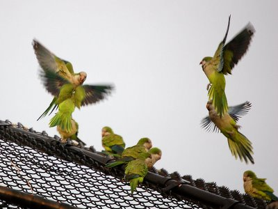 An aerial skirmish among monk parrots in the Bronx