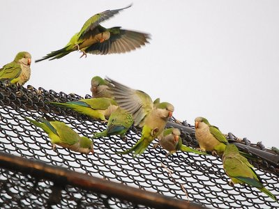 The Bronx aerial skirmish among monk parrots at full force