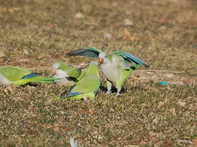 Bronx wild monk parrots exhibit aggression while on the ground