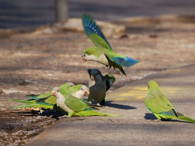 Brooklyn wild quaker parakeets occasionally display combative behavior