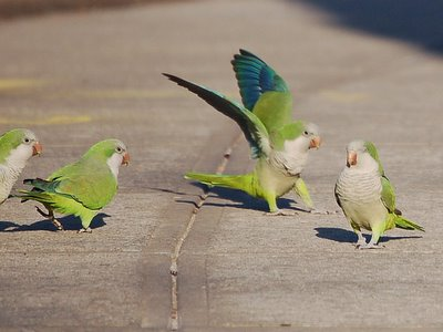 Some Brooklyn parrots are too mature to get drawn into silly battles with teenage competitors
