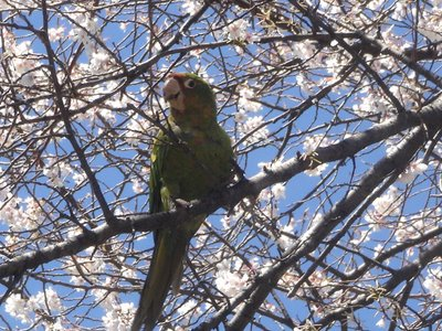 A wild mitered conure in a Queens, NY cherry tree