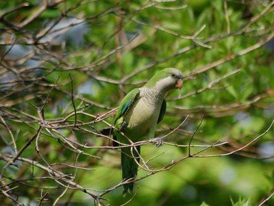 Wild Monk Parakeet at Green-Wood Cemetery, Brooklyn, NY