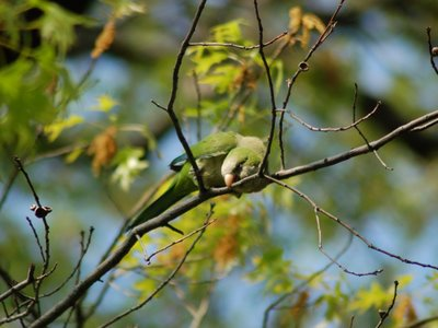 Quaker Parrot chopping at tree in Green-Wood Cemetery
