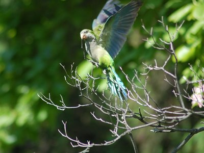 A Quaker Parrot at Greenwood Cemetery Takes off with a Fresh Twig