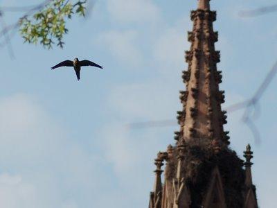 A Wild Quaker Parrot cruises near Green-Wood Cemetery's historic entrance gateway