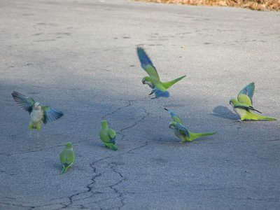 Marching Monk Parrots in Brooklyn, photo 1