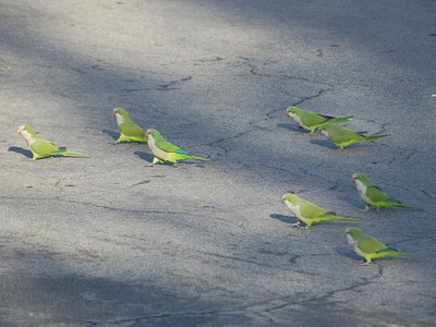 Marching Monk Parrots in Brooklyn, photo 2