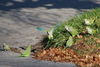 Marching Monk Parrots in Brooklyn, photo 6