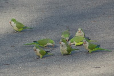 Marching Monk Parrots in Brooklyn, photo 7