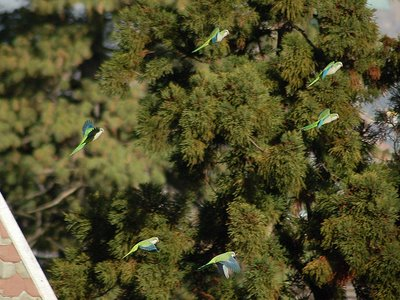 Marching Monk Parrots in Brooklyn, photo 8