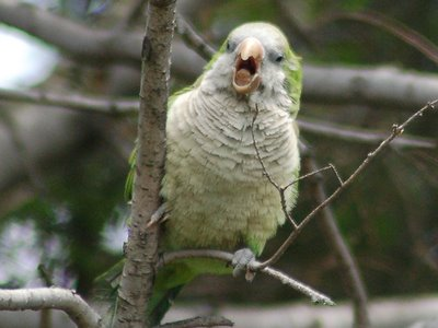 Breaking News: New York City Council Will Soon Vote on Wild Parrot Protection Resolution