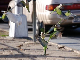 Parrots take off after hearing loud urban sound, Brooklyn, NY