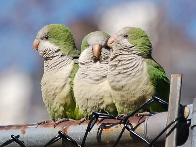 A family of three wild monk parrots perches on a chainlink fence protecting Edgewater's public swimming pool