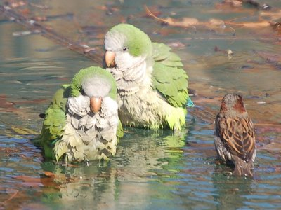 Two wild quaker parrots bathe with a local English sparrow - photo 1 of 2