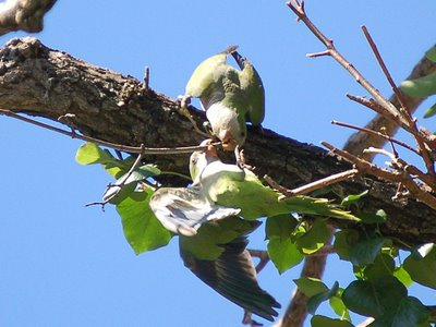 Two wild quaker parakeets struggle over a choice twig - photo 1 of 2