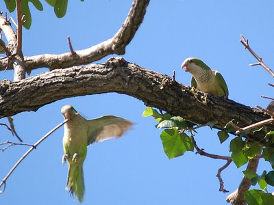 Two wild quaker parakeets struggle over a choice twig - photo 2 of 2