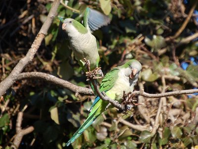 Two wild quaker parrots in Edgewater's Big W tree provide animated entertainment