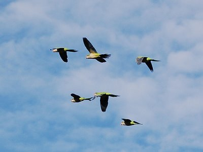 Six wild quaker parrots fly in tight flight formation over Edgewater