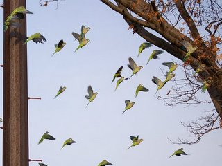 Bronx wild parrots in flight