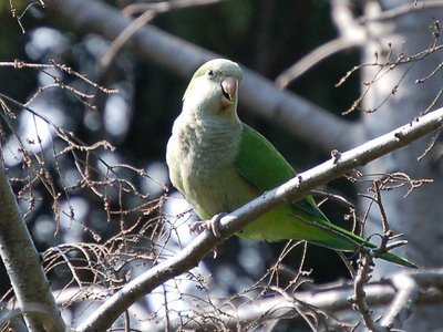 A fresh-faced, brand new, wild born Brooklyn Quaker Parakeet perches on a pine tree in Greenwood Cemetery, Brooklyn