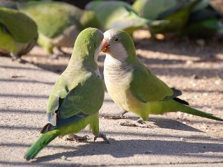 Monk parrots argue over the Brooklyn stadium project
